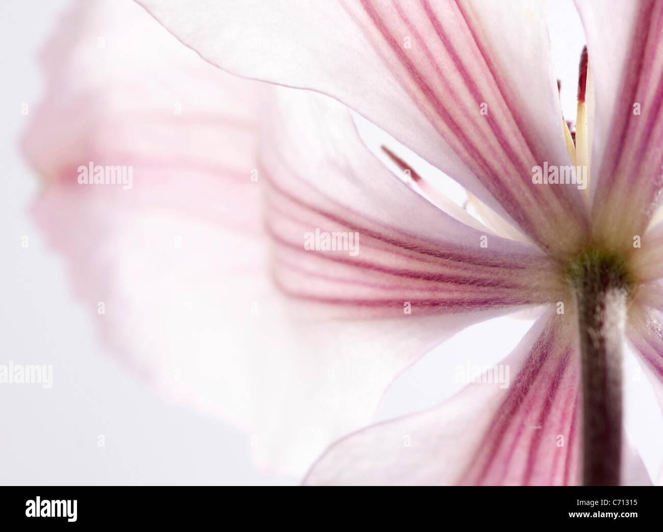 Clematis, rosa Blume Detail betrifft, weißer Hintergrund Stockbild