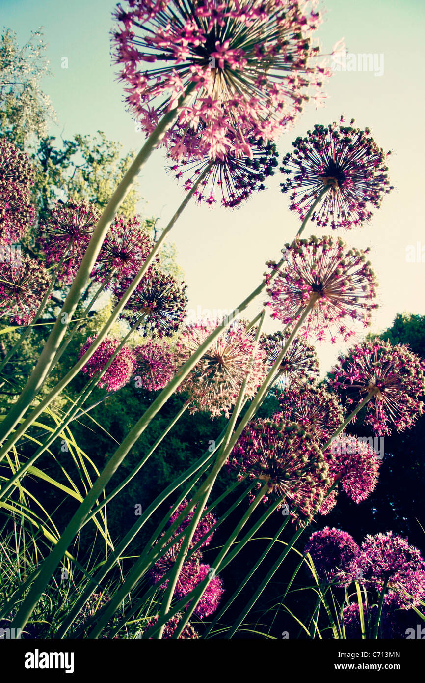 Ornamentale Zwiebel, Allium, lila kugelförmige Blütenköpfe an langen Stielen. Stockbild