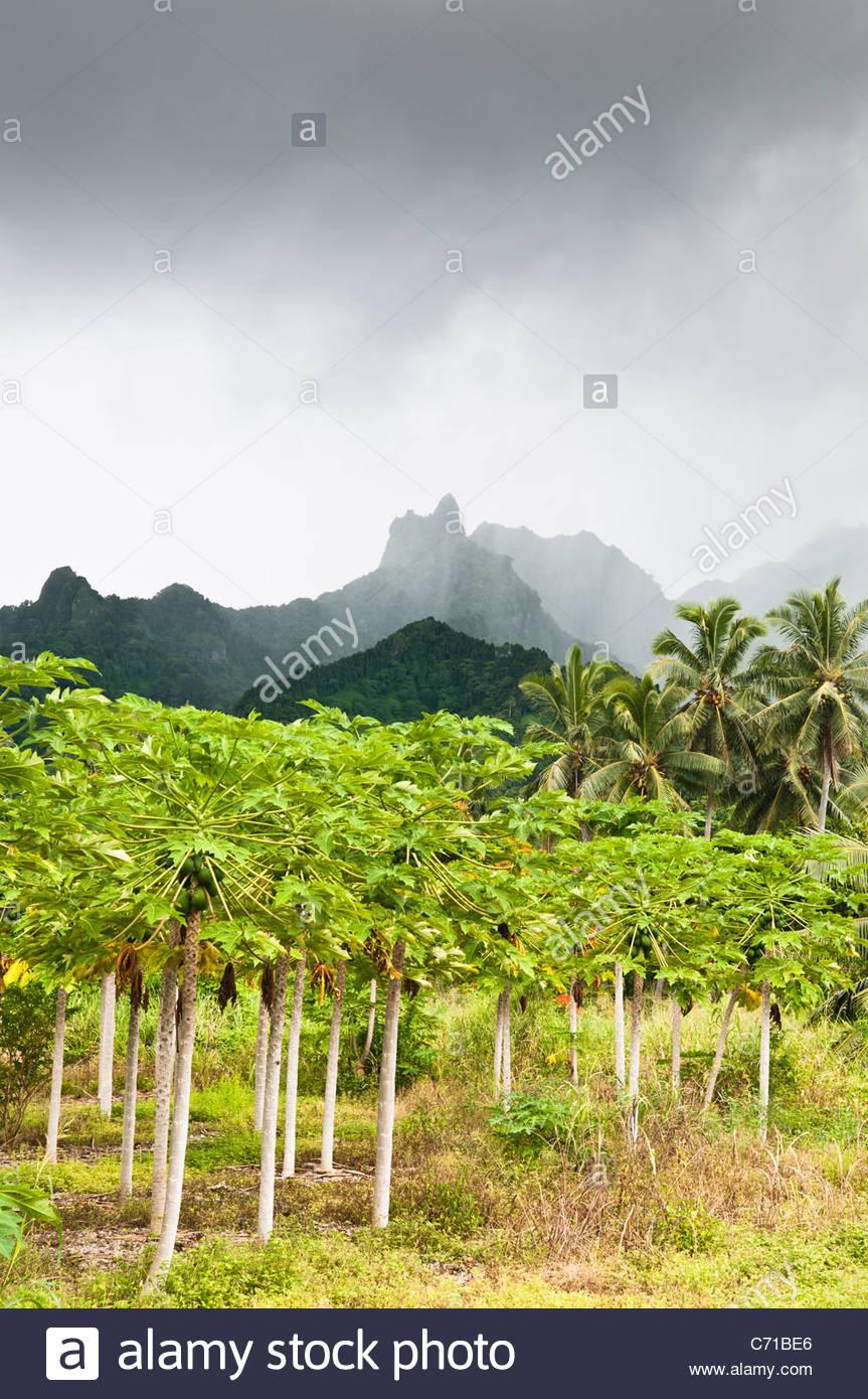 Paypaya Plantage und Berge, Rarotonga, Cook-Inseln. Stockbild