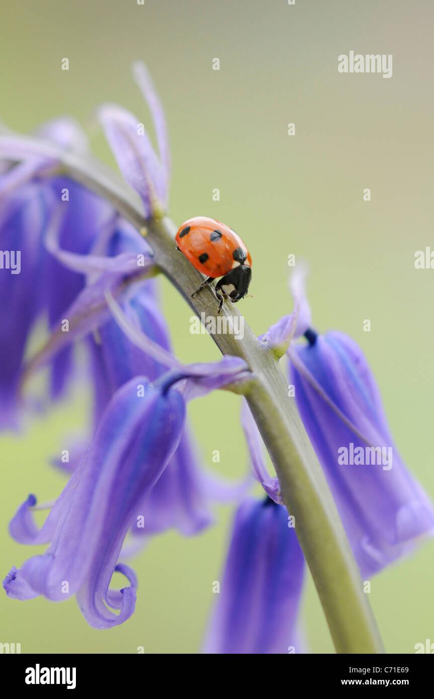 Hyacinthoides non-Scripta gemeinsame englische Bluebell oder Wild Hyazinthe mit sieben spot Marienkäfer auf Stockbild