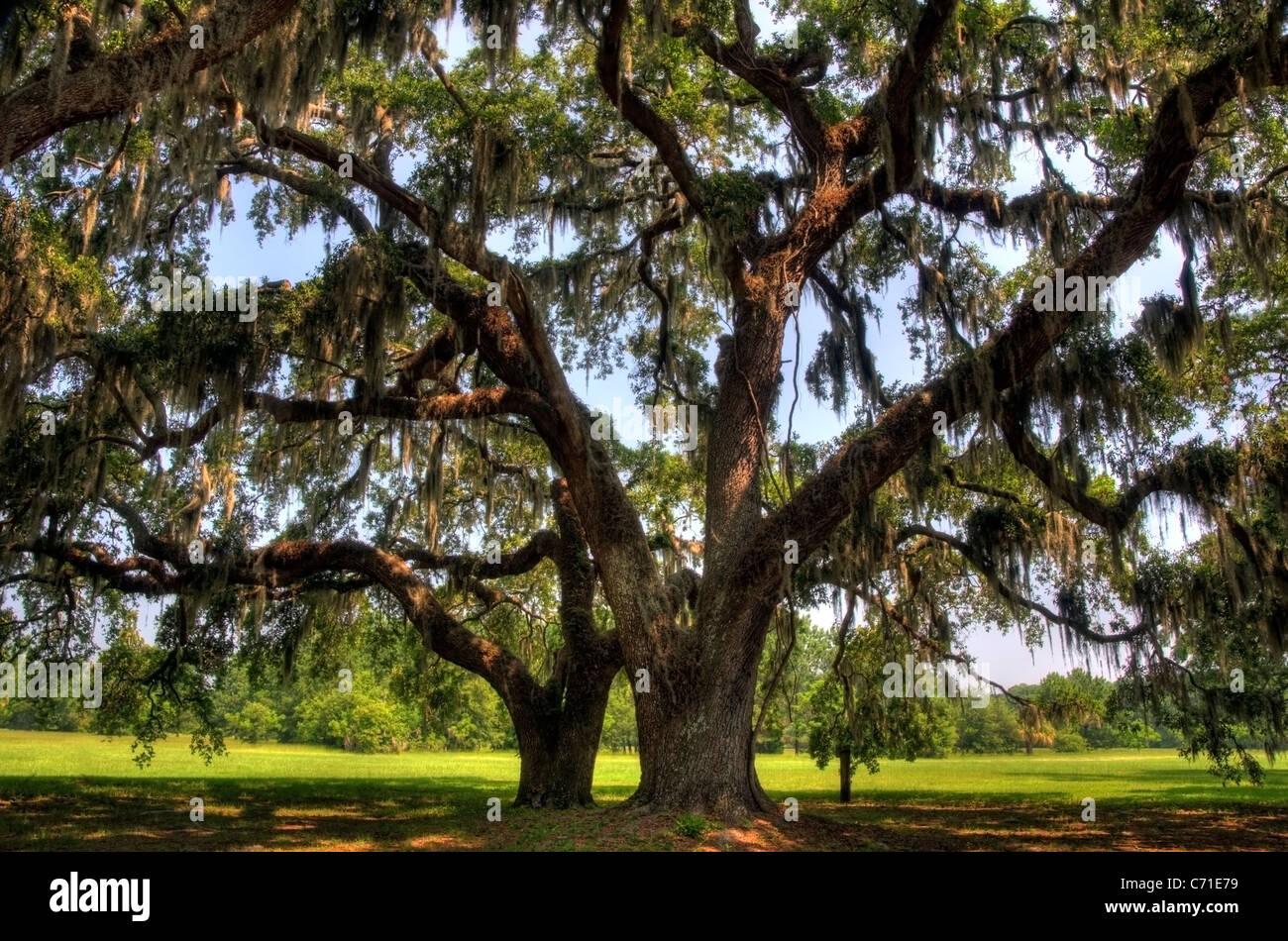 Riesige Eiche Bäume im Honig Horn Plantage auf Hilton Head Island, South Carolina. Stockbild