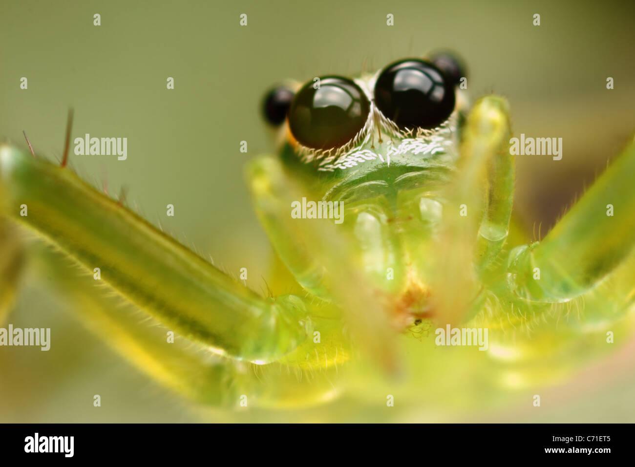 Foto ist eine grüne transparente Jumper Spinne im Moment des Sprunges. Stockbild