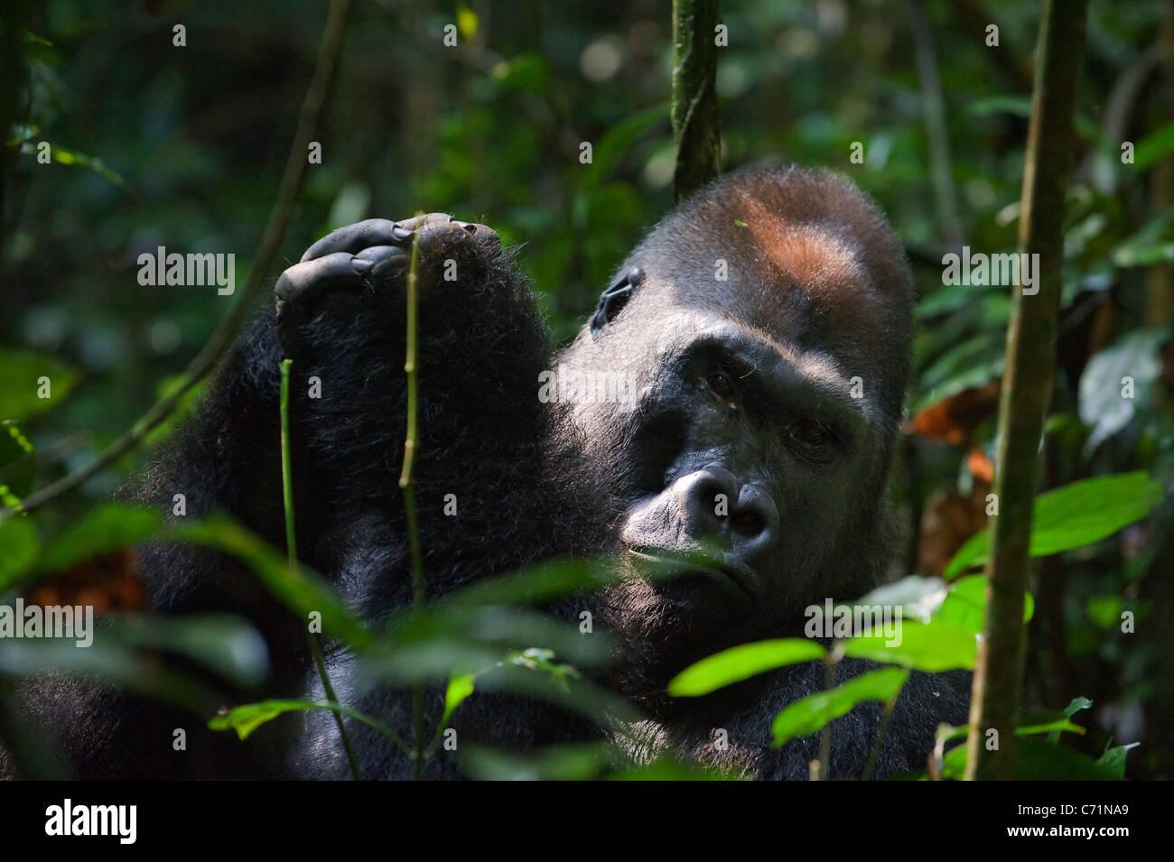 Silberrücken - Männchen eines Gorillas. Westlicher Flachlandgorilla. Stockbild