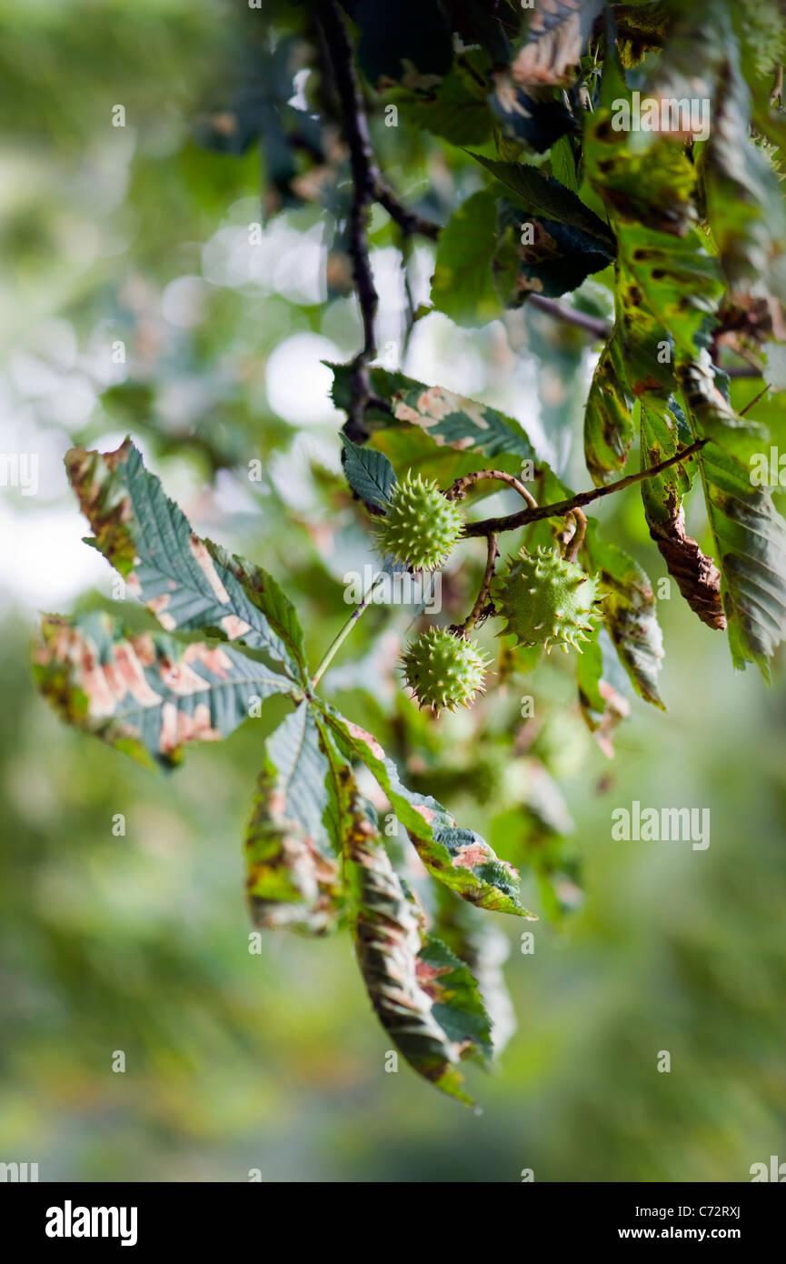 Beschädigte Blätter der Rosskastanie Baum verursacht durch die Rosskastanien-Miniermotte-Moth - Cameraria Stockbild