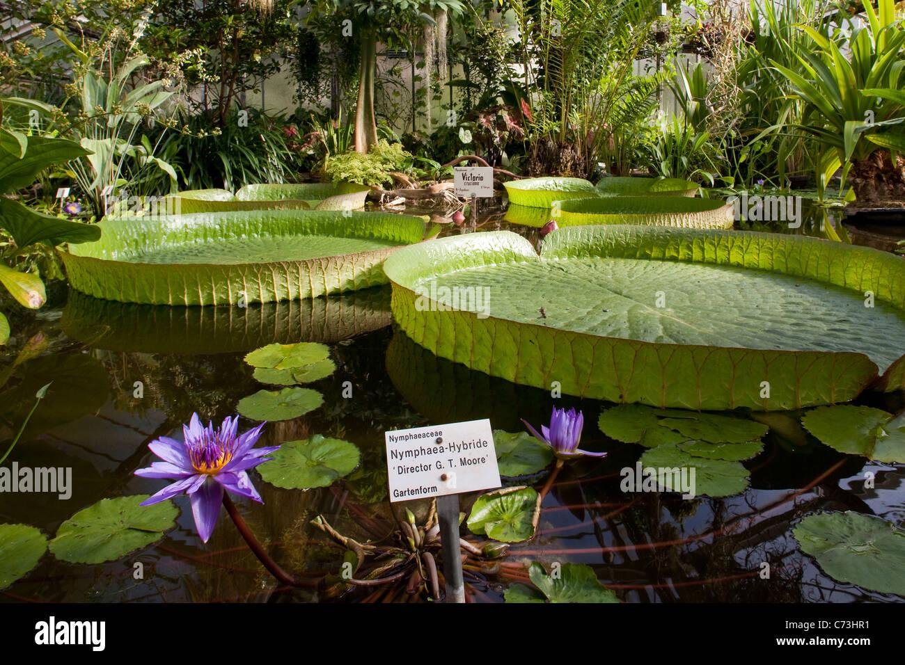 Seerosen Im Victoria Haus In Göttingen Botanischer Garten Göttingen