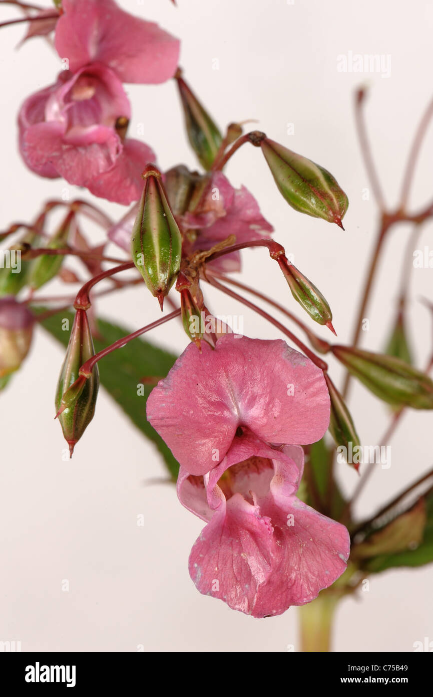 Himalaya-Springkraut (Impatiens Gladulifera) Blüten und Samenkapseln Stockfoto