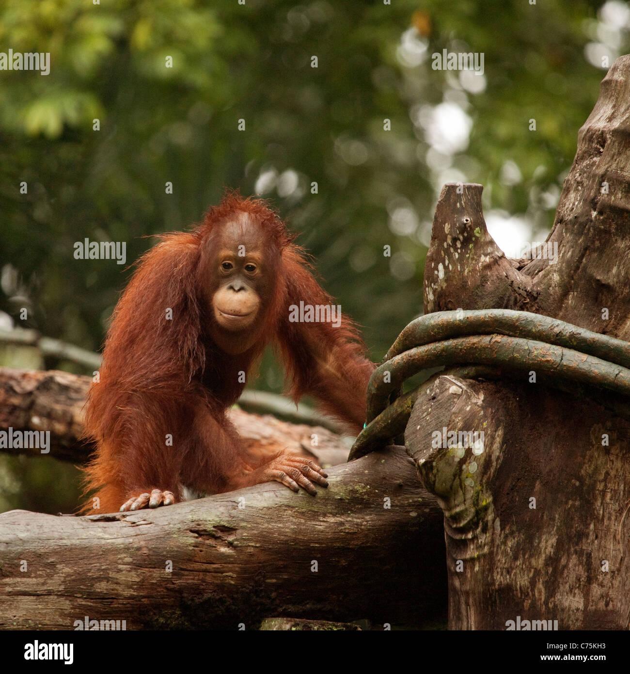 Bornean Orang-Utans (Pongo Pygmaeus) im Zoo von Singapur, Singapur Asien Stockbild