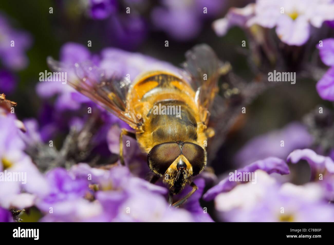 Fake Biene Myathropa Florea eine Wespe imitiert perfekt zu einem gemeinsamen Biene namens Mimetism Schuß an Stockbild