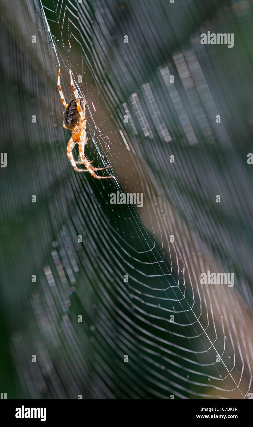Gartenkreuzspinne (Araneus Diadematus) Stockbild