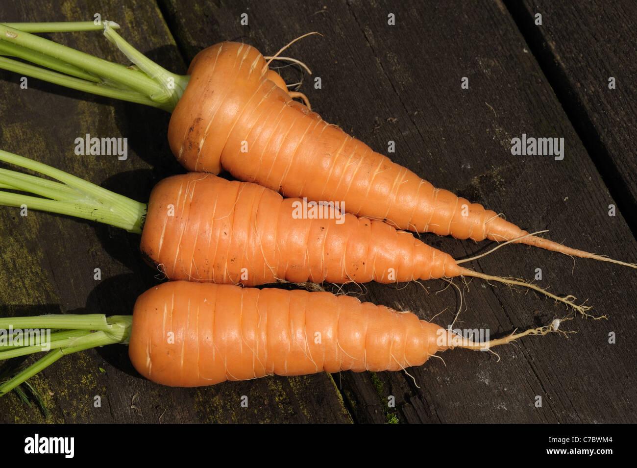 Reife Garten Container gewachsen Karotten Stockbild