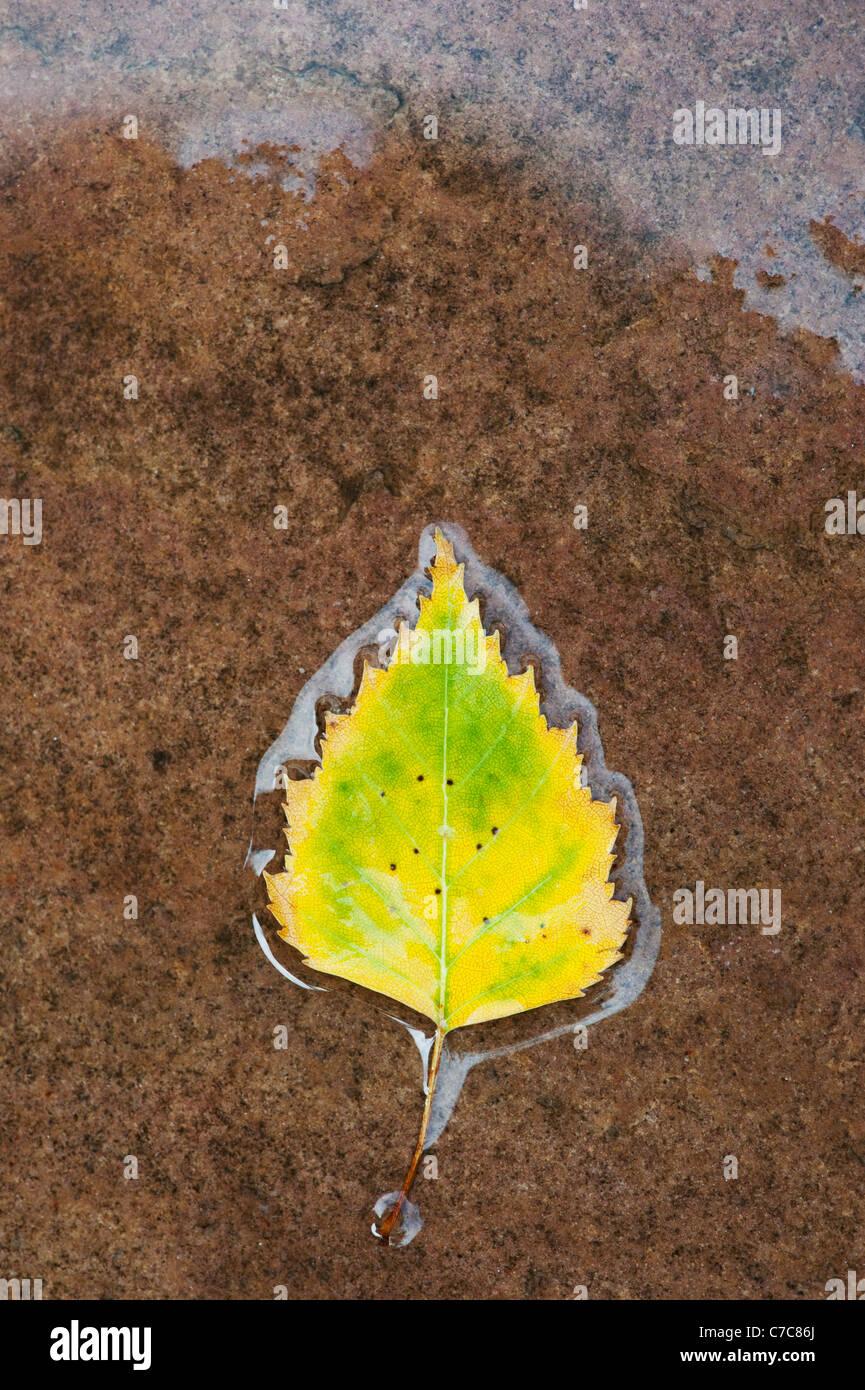 Betula Pendel. Silber Birkenblatt auf einem nassen Weg Stockbild