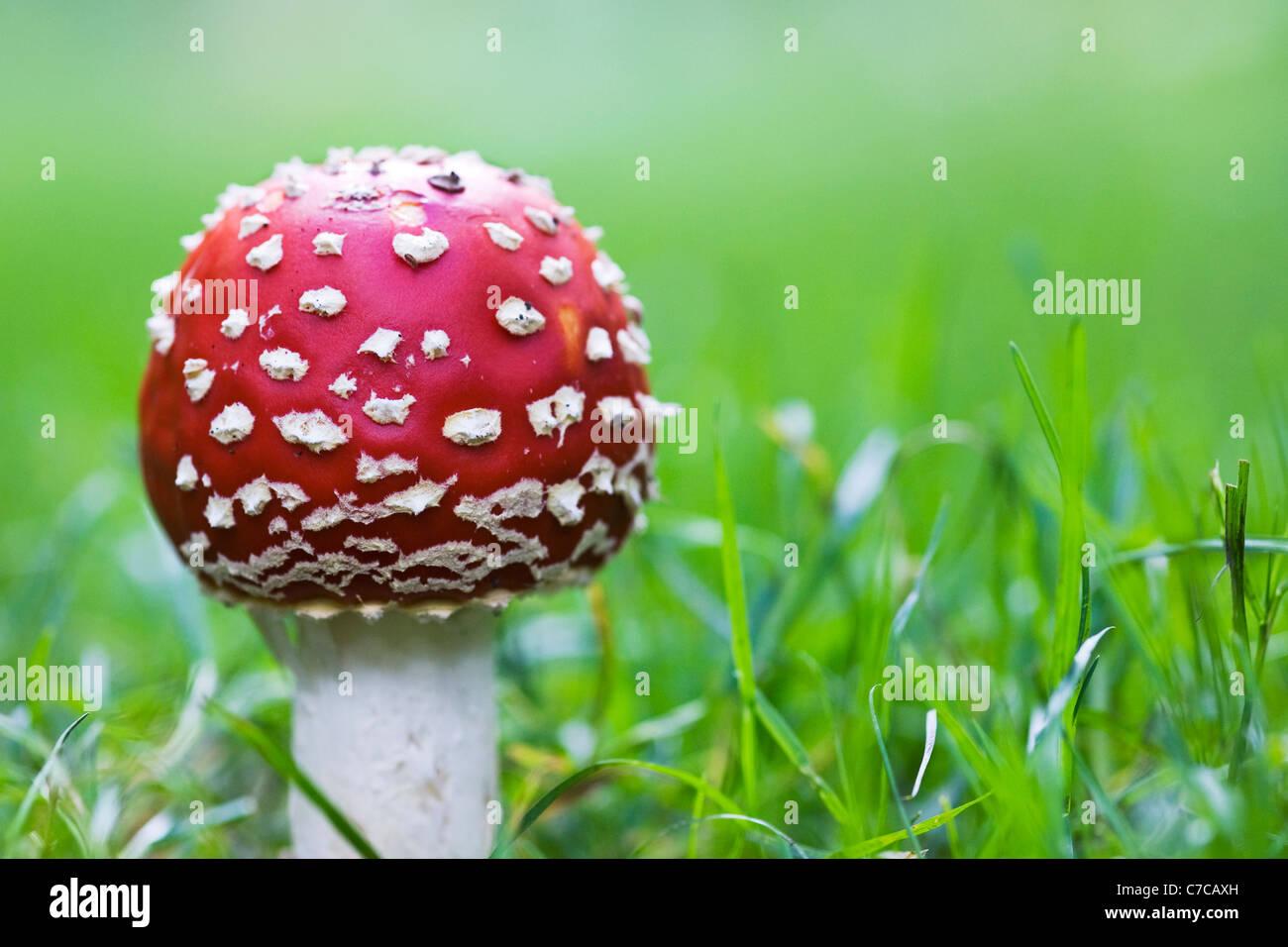 Amanita Muscaria. Fliegenpilz Pilz am Rande eines Waldes Stockfoto