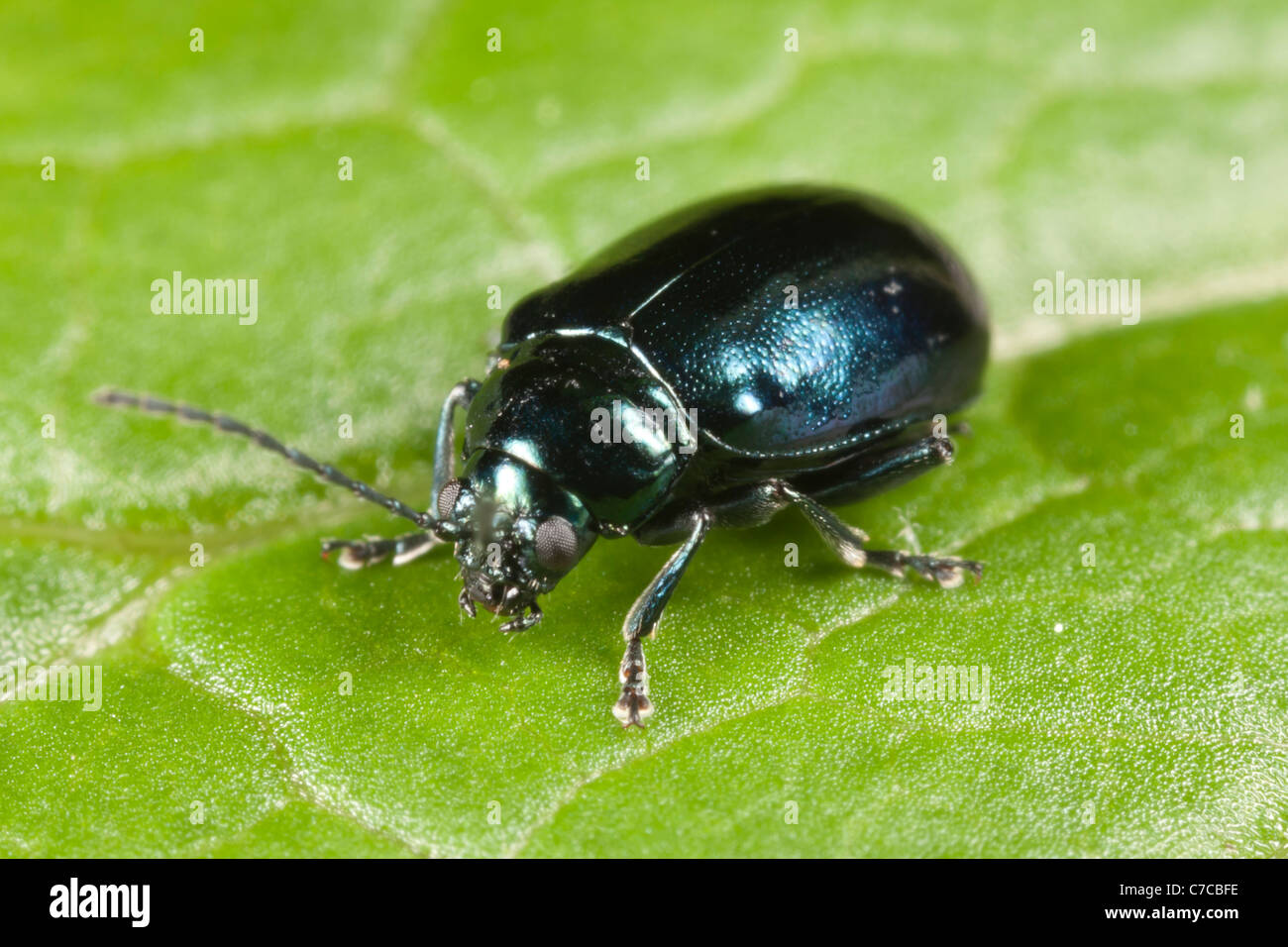 Flea Beetle (Altica SP.) auf einem Blatt Knoblauchsrauke Stockfoto