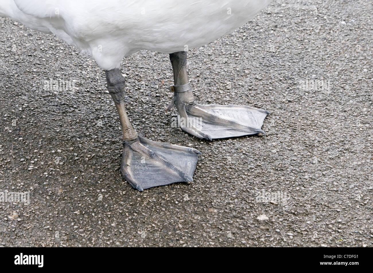 Schwimmfüße Fuß Schwan Schwäne anmutige Vogel Ente Enten schwimmen Stockbild