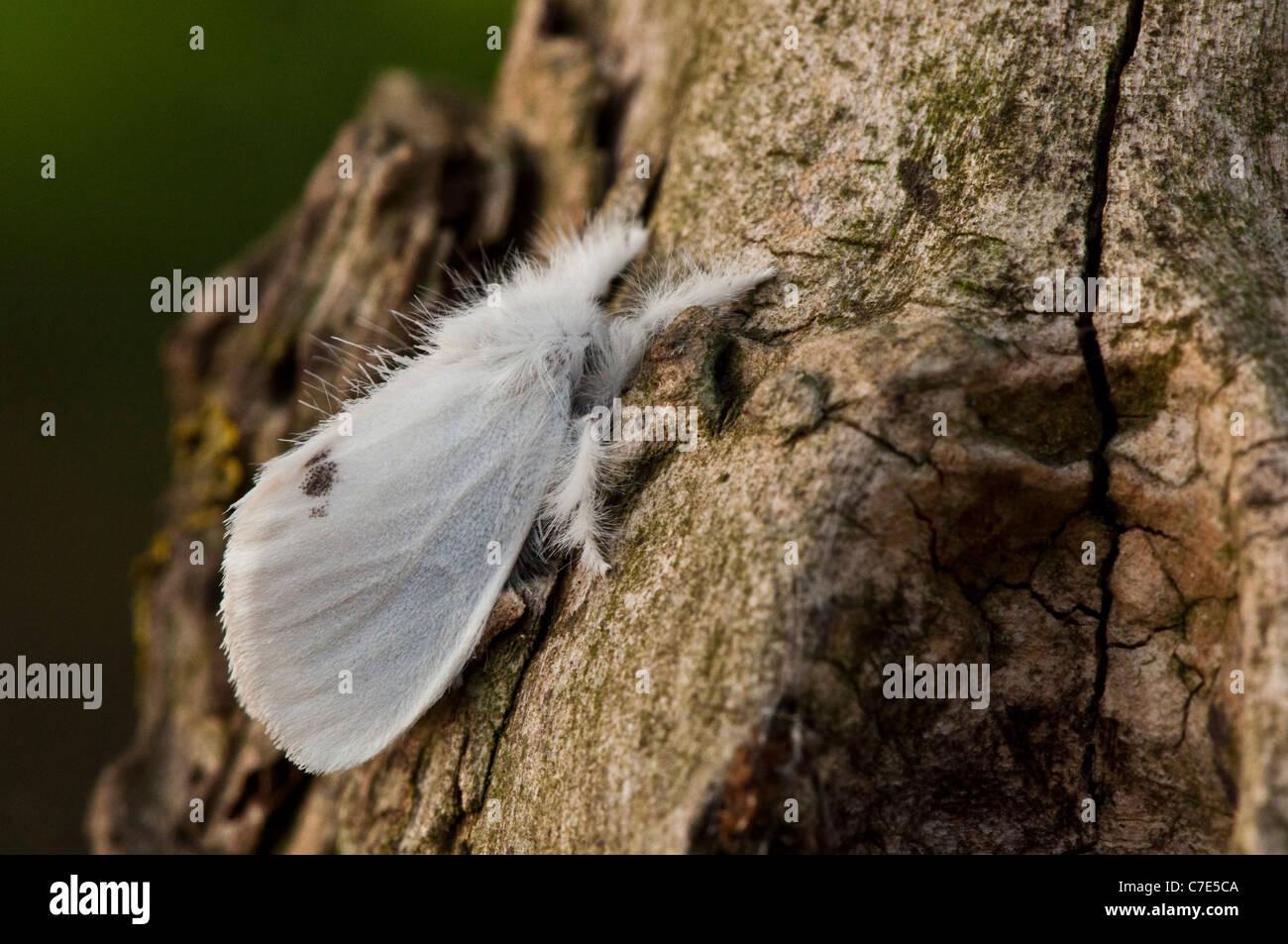 Männliche gelb-Tail (Euproctis Similis) Stockbild