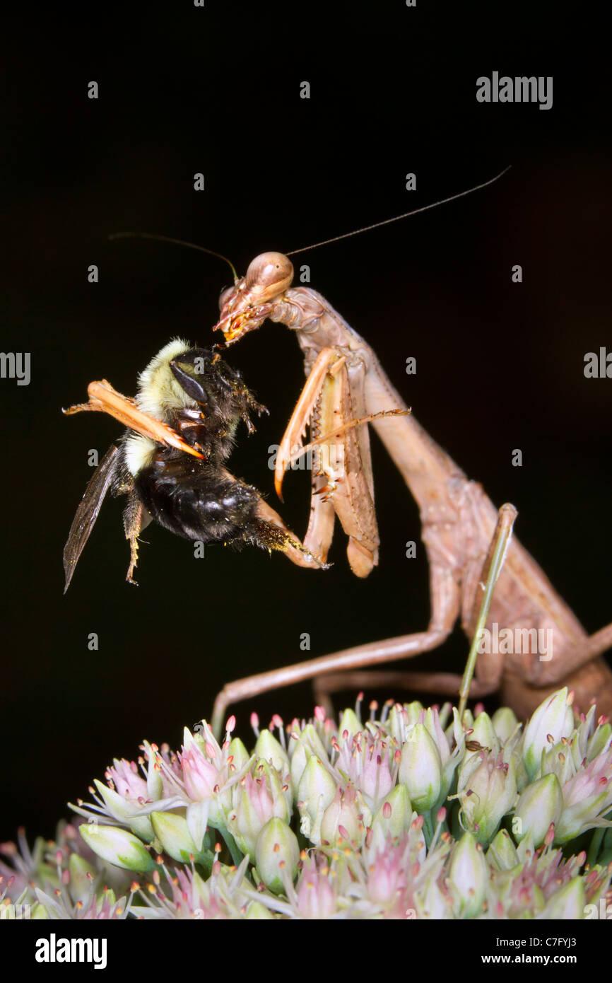 Praying Mantis Essen eine Hummel. Stockbild