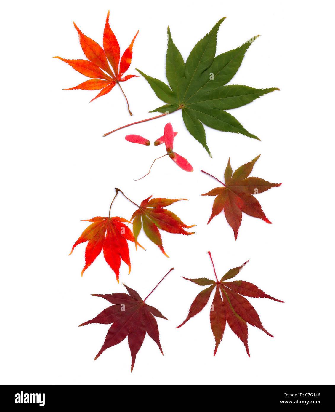 Japanische ahorn bl tter blatt acer palmatum herbst farben for Lila und grun mischen