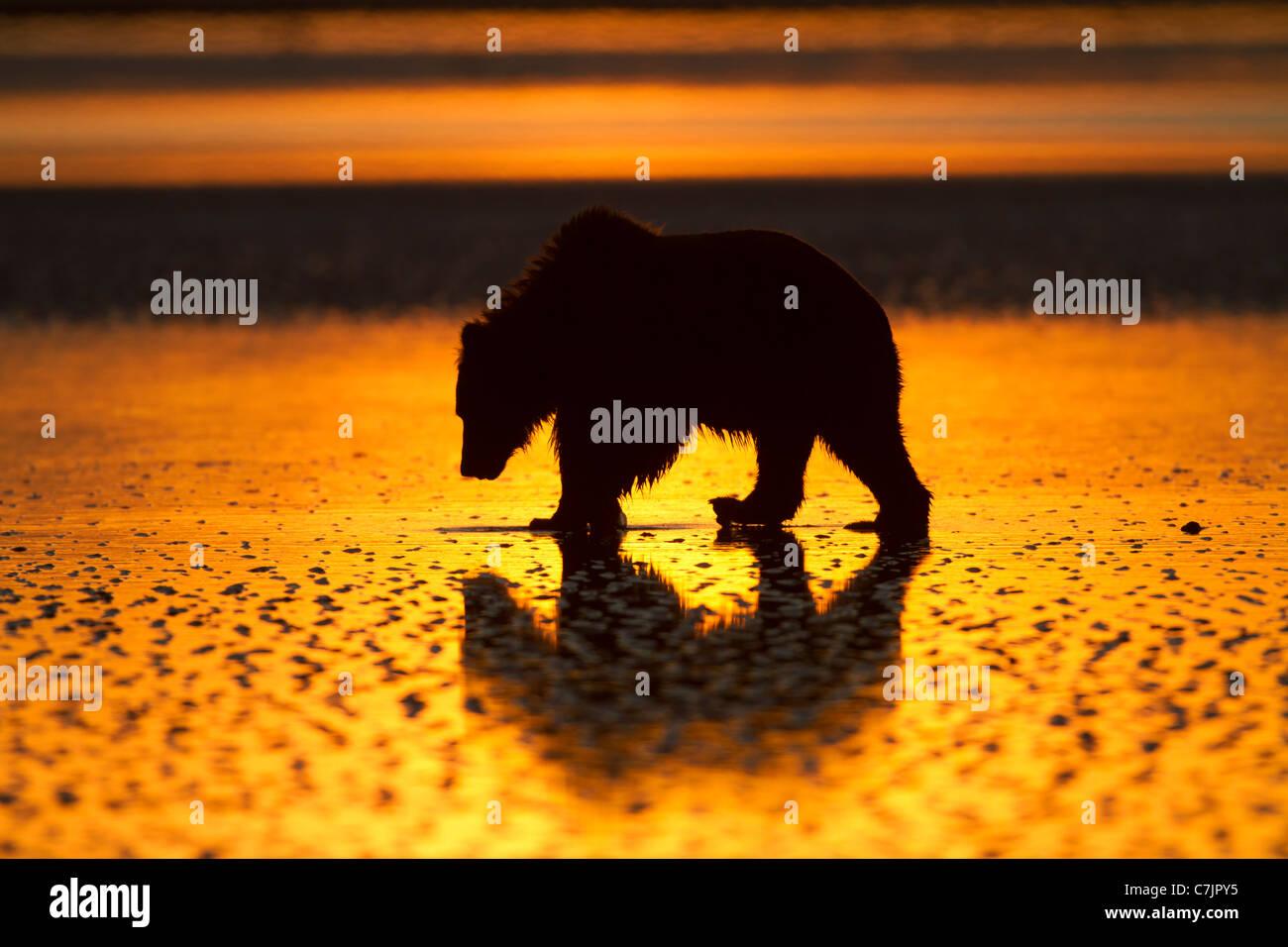 Braun / Grizzly Bär auf der Suche nach Muscheln bei Sonnenaufgang, Lake-Clark-Nationalpark, Alaska. Stockbild