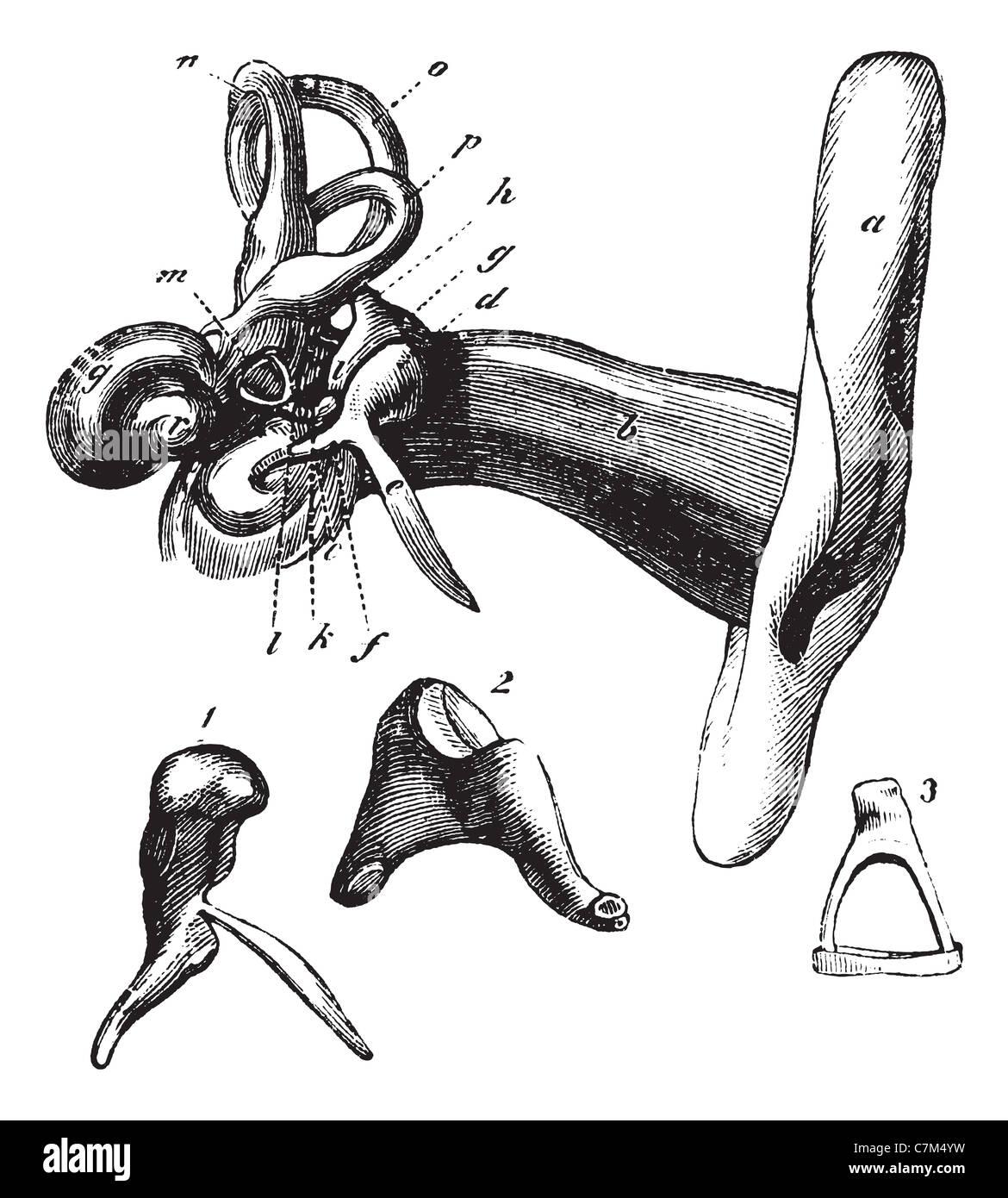 Menschliche Ohr Anatomie oder Teile des Hörgerätes. Vintage ...