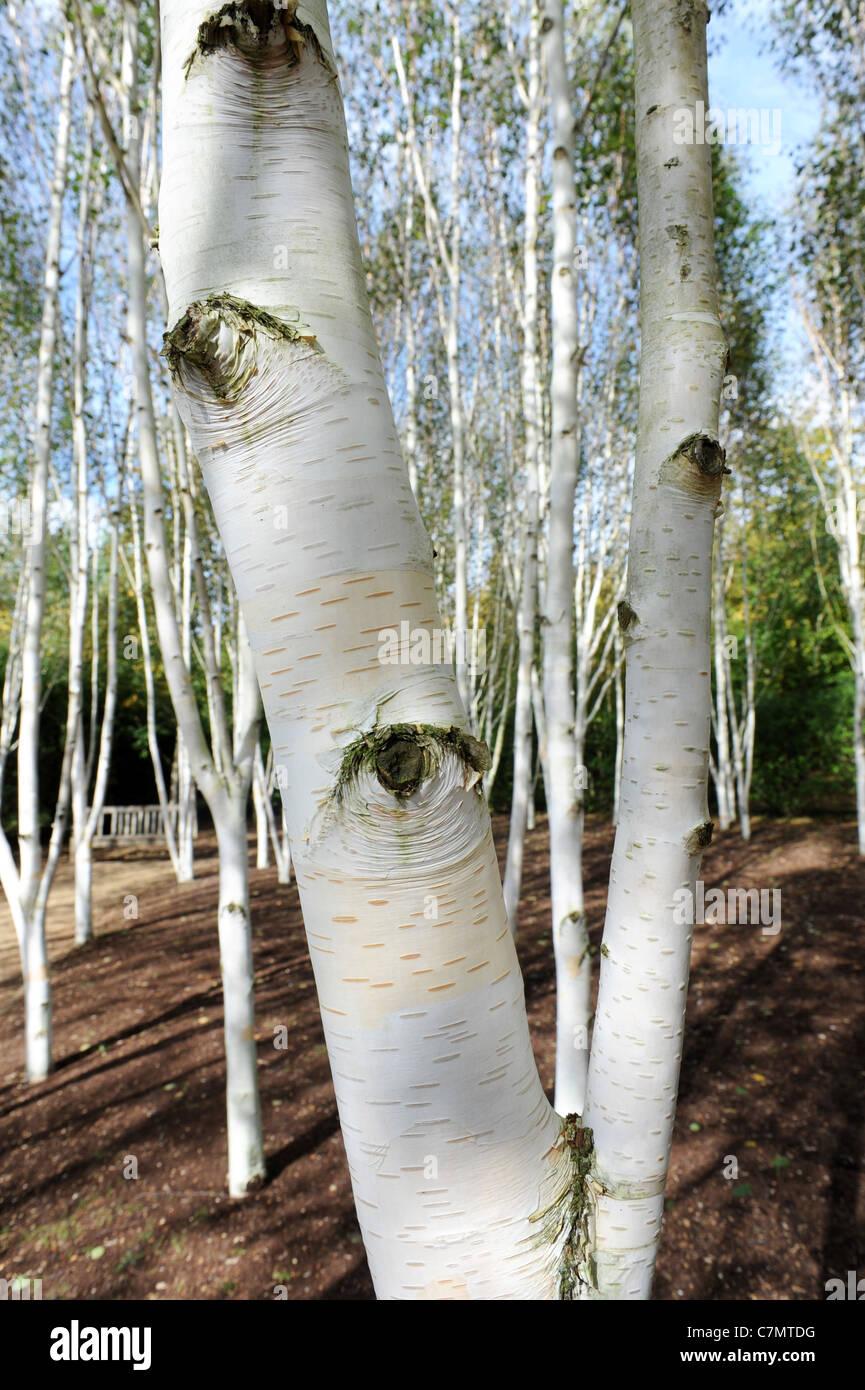 Bark White Himalayan Birch Betula Stockfotos Bark White Himalayan