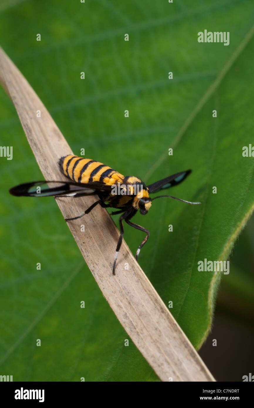 Die Clearwing Motte, Ceryx Sphenodes in Thap Lan Nationalpark, Thailand. Angenommen, eine Biene oder Wespe Mimik. Stockbild