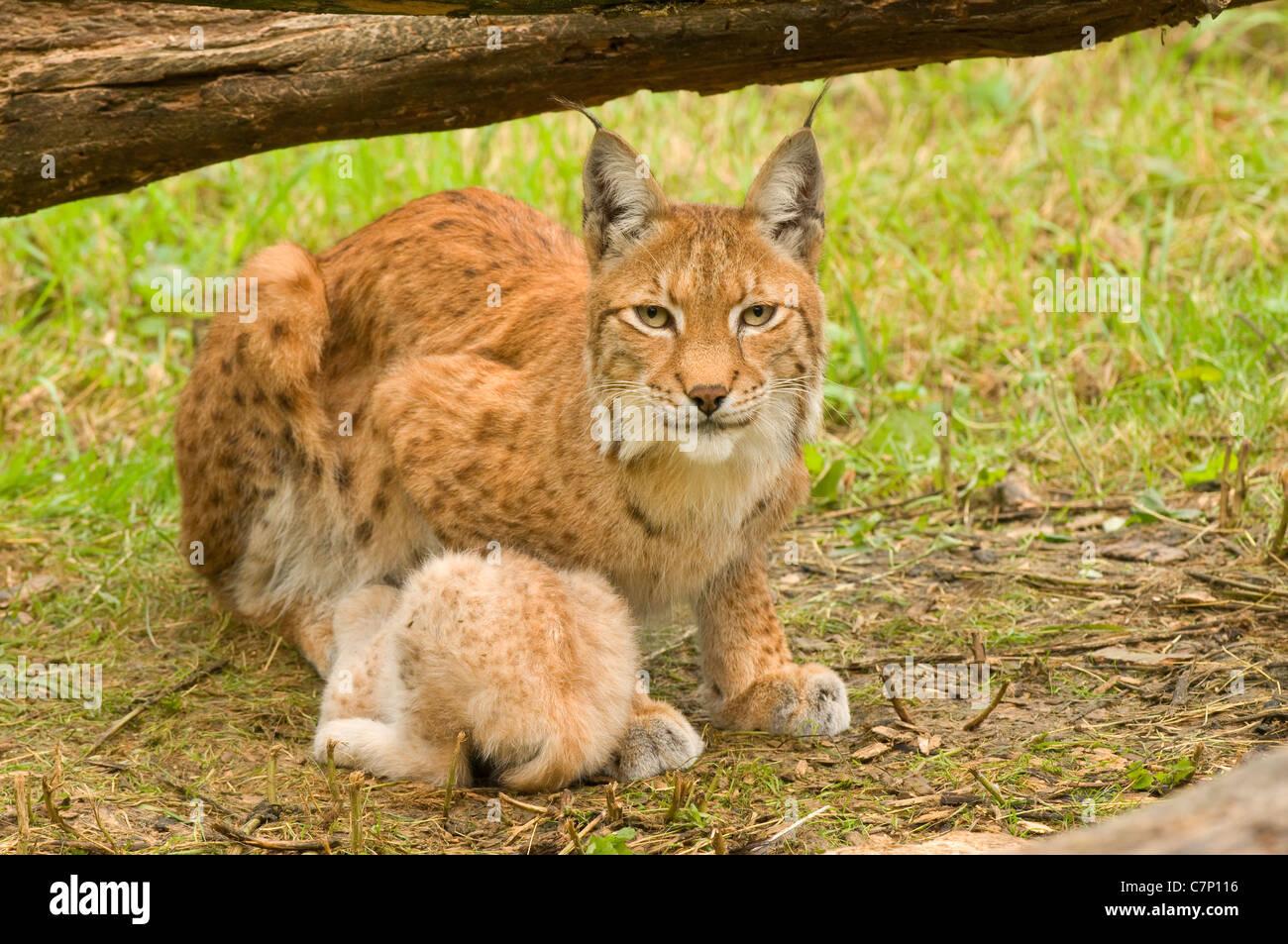 Kerkrade Niederlande eurasischer luchs lynx lynx erwachsene weibliche sitzen im rasen