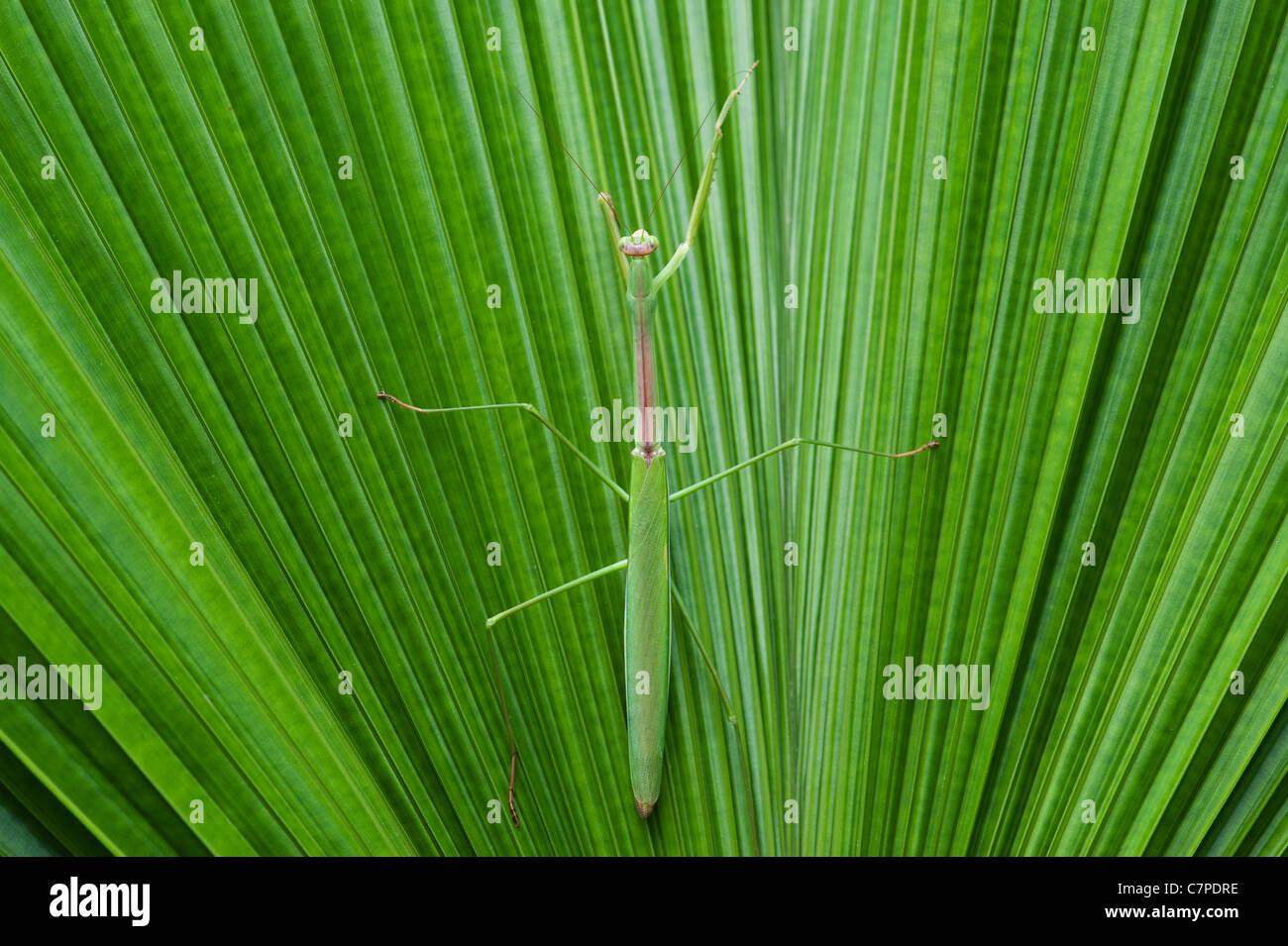 Gottesanbeterin auf einem Palmwedel in Indien Stockbild