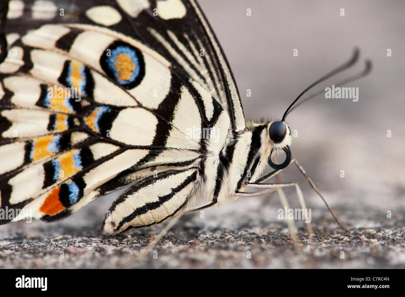 Papilio Demoleus. Kalk-Schmetterling Stockfoto