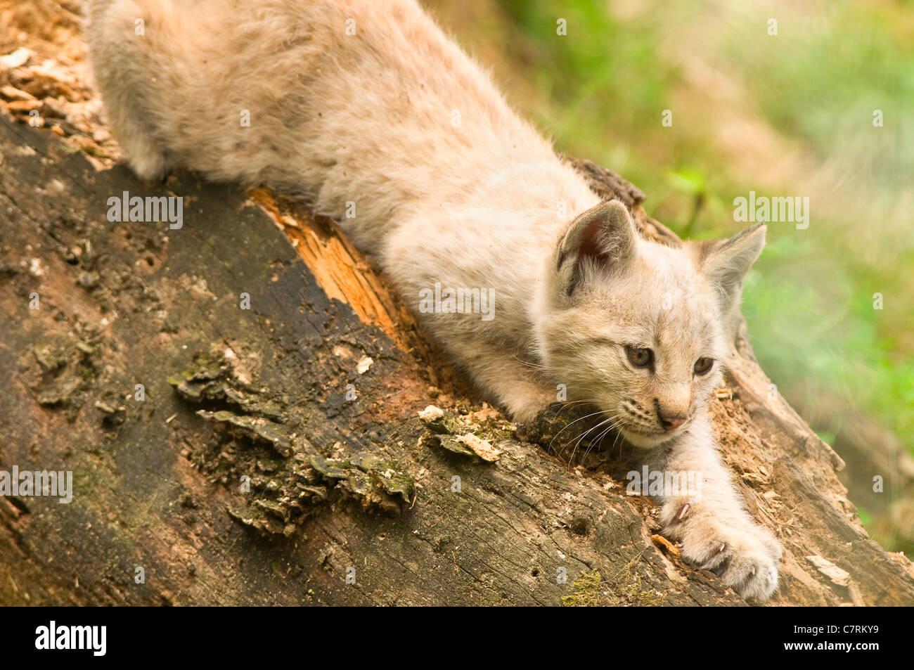 Kerkrade Niederlande eurasischer luchs lynx lynx junge weiße kätzchen hocken sommer