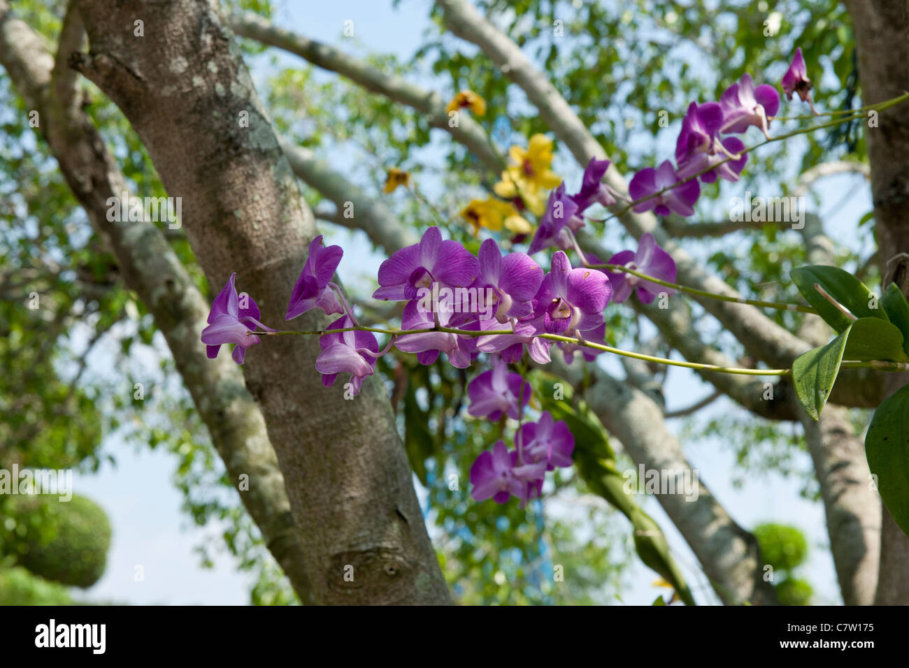 orchids in tree stockfotos orchids in tree bilder alamy. Black Bedroom Furniture Sets. Home Design Ideas