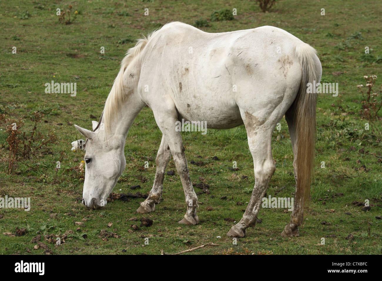 ein weißes Pferd in einem Feld Essen Rasen, Weiden Stockbild