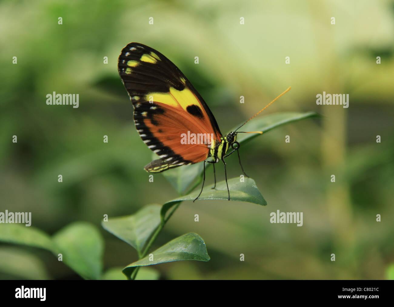 tropical butterfly caterpillar stockfotos tropical butterfly caterpillar bilder alamy. Black Bedroom Furniture Sets. Home Design Ideas