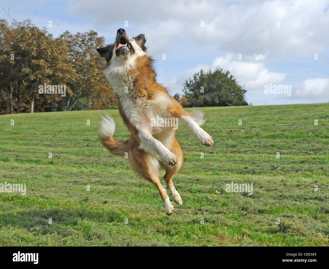 Eine Collie Kreuz Hund springt in die Luft Stockbild