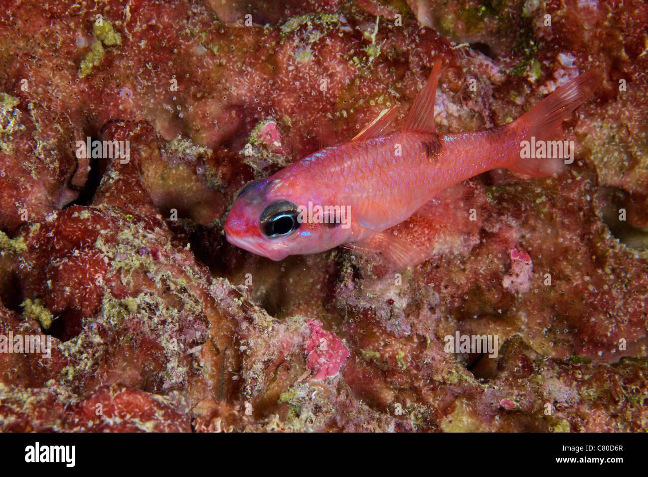 Kardinalbarschen, Bonaire, Karibik Niederlande zu imitieren. Stockbild
