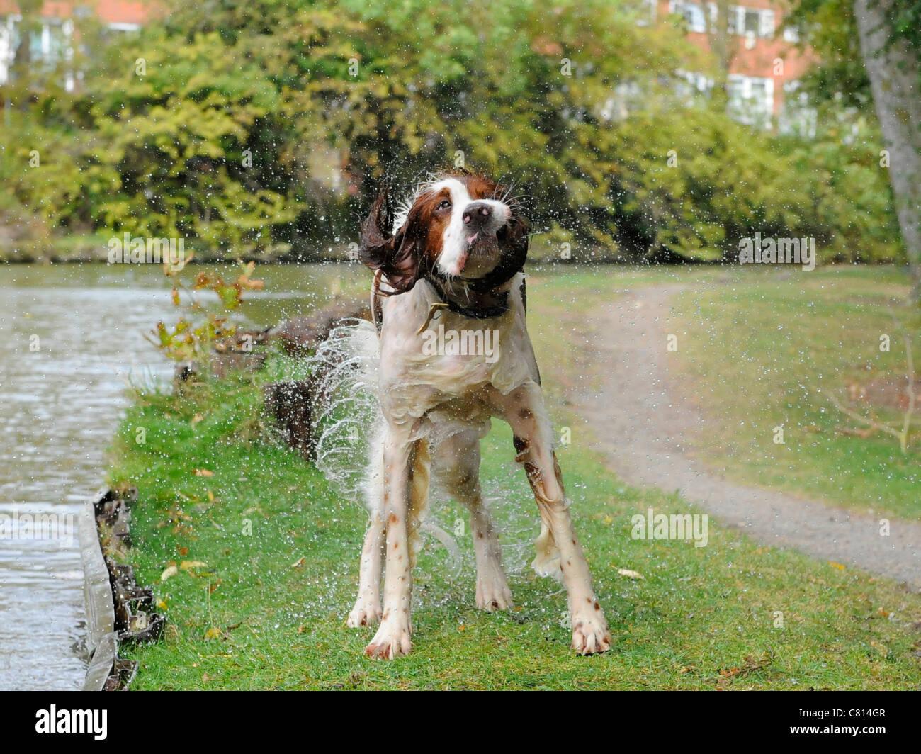 Einen roten und weißen Setter Hund schüttelt sich Stockbild