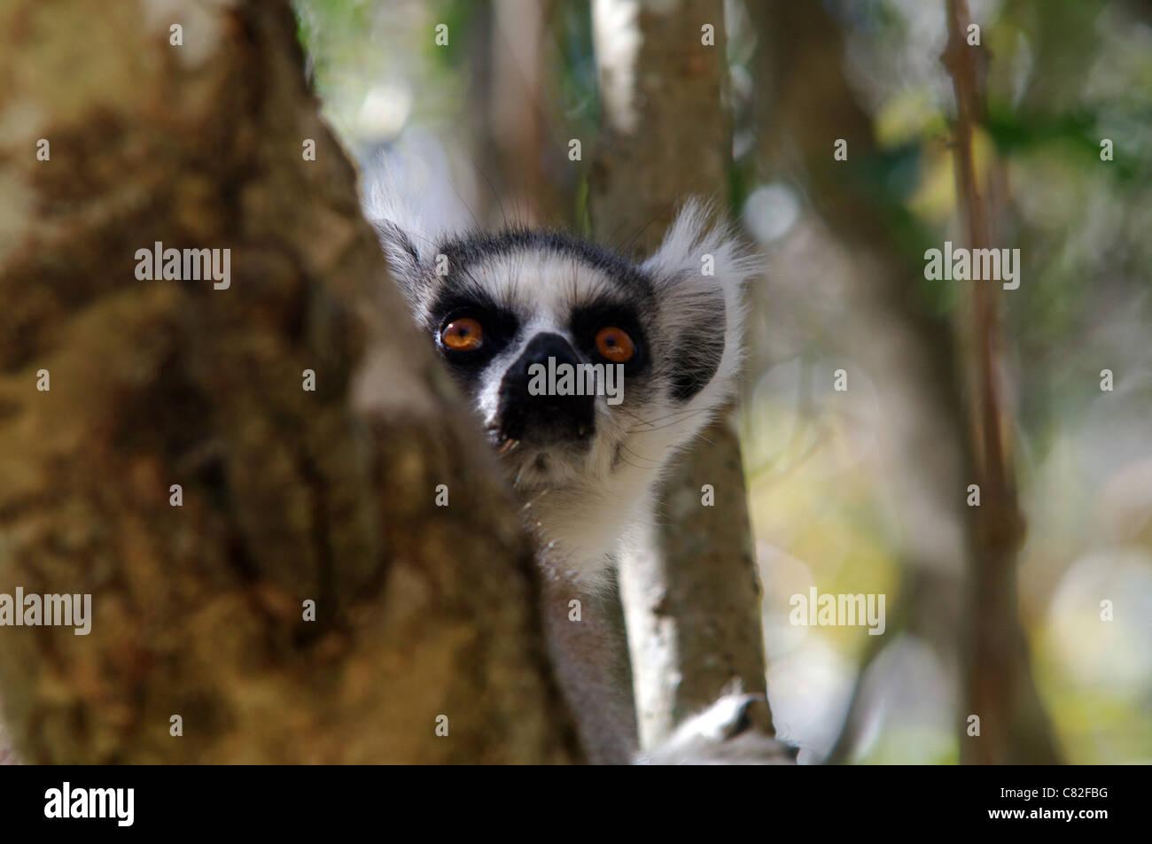 Katta ruht in der Baumkrone, Isalo, Madagaskar Stockbild