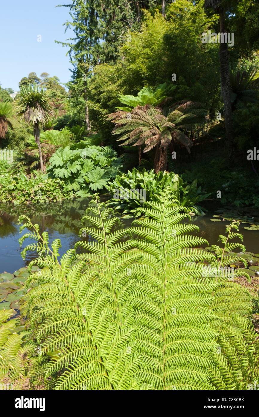 Farne neben einem Teich im Dschungel in The verloren Gardens of Heligan, Pentewan, Austell, Cornwall Stockbild