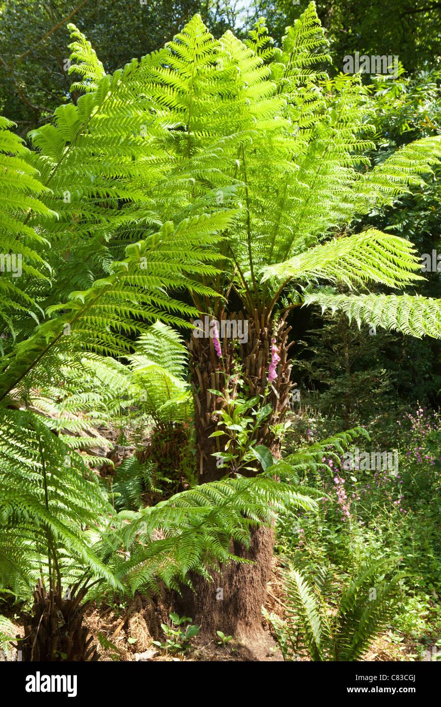 Baumfarne im Dschungel in The verloren Gardens of Heligan, Pentewan, Austell, Cornwall Stockbild