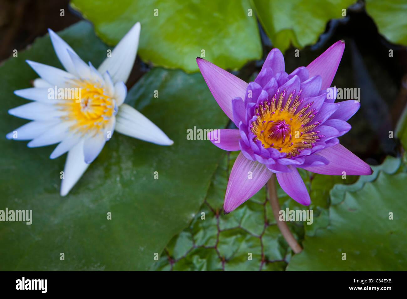 zwei Wasser Lilien, weiße und violette Stockbild
