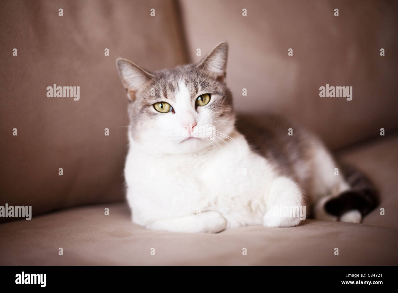 Domestic Cat Stockfotos Domestic Cat Bilder Alamy