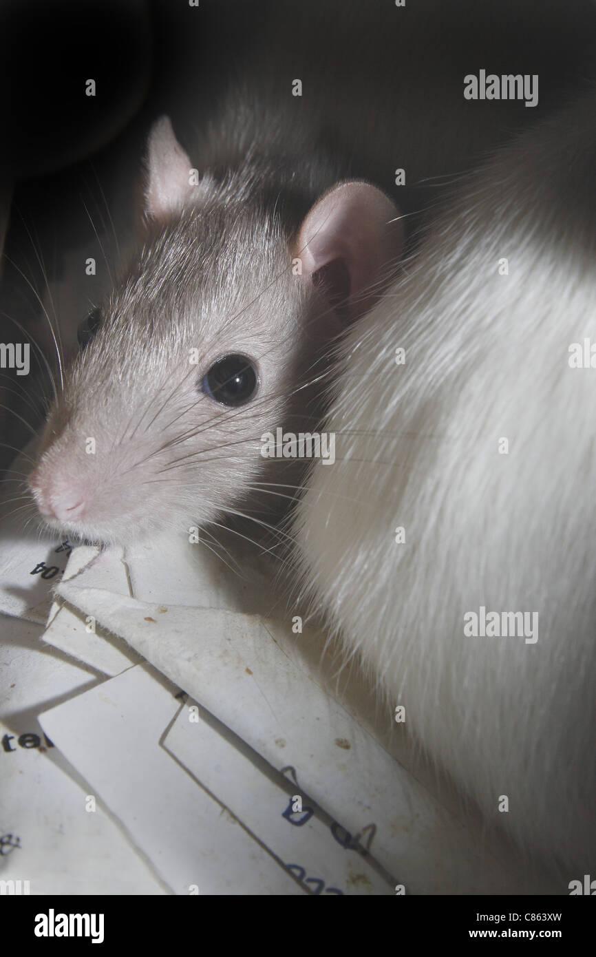 Schön Ratten Die Drähte In Fahrzeugen Kauen Fotos ...