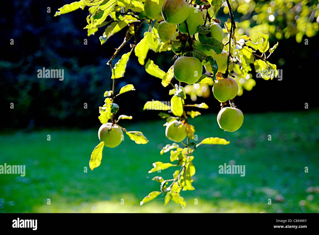 Apple in der Herbstsonne, die Zeit der Ernte darstellt Stockfoto