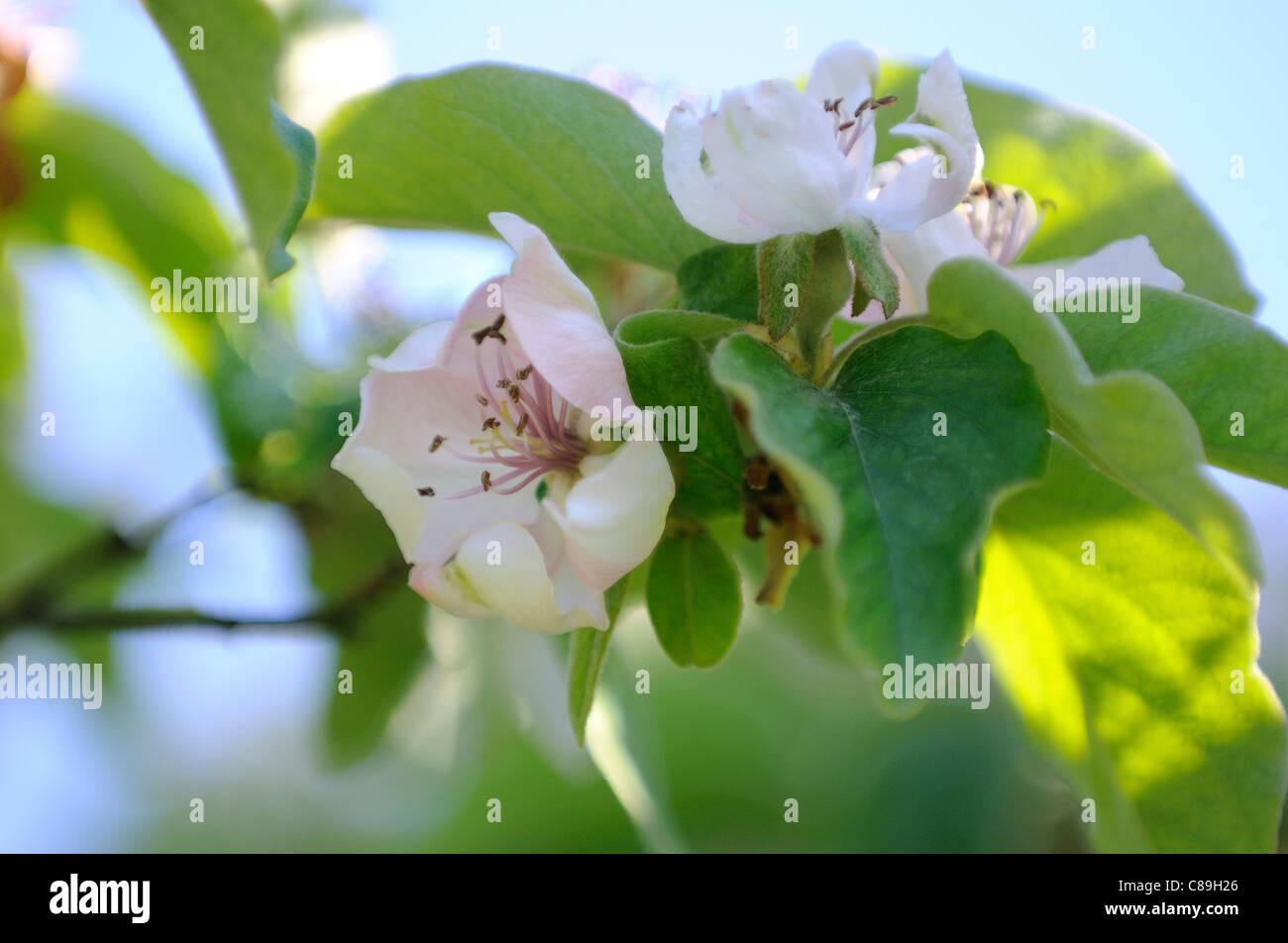 Quitte Blüte Stockbild