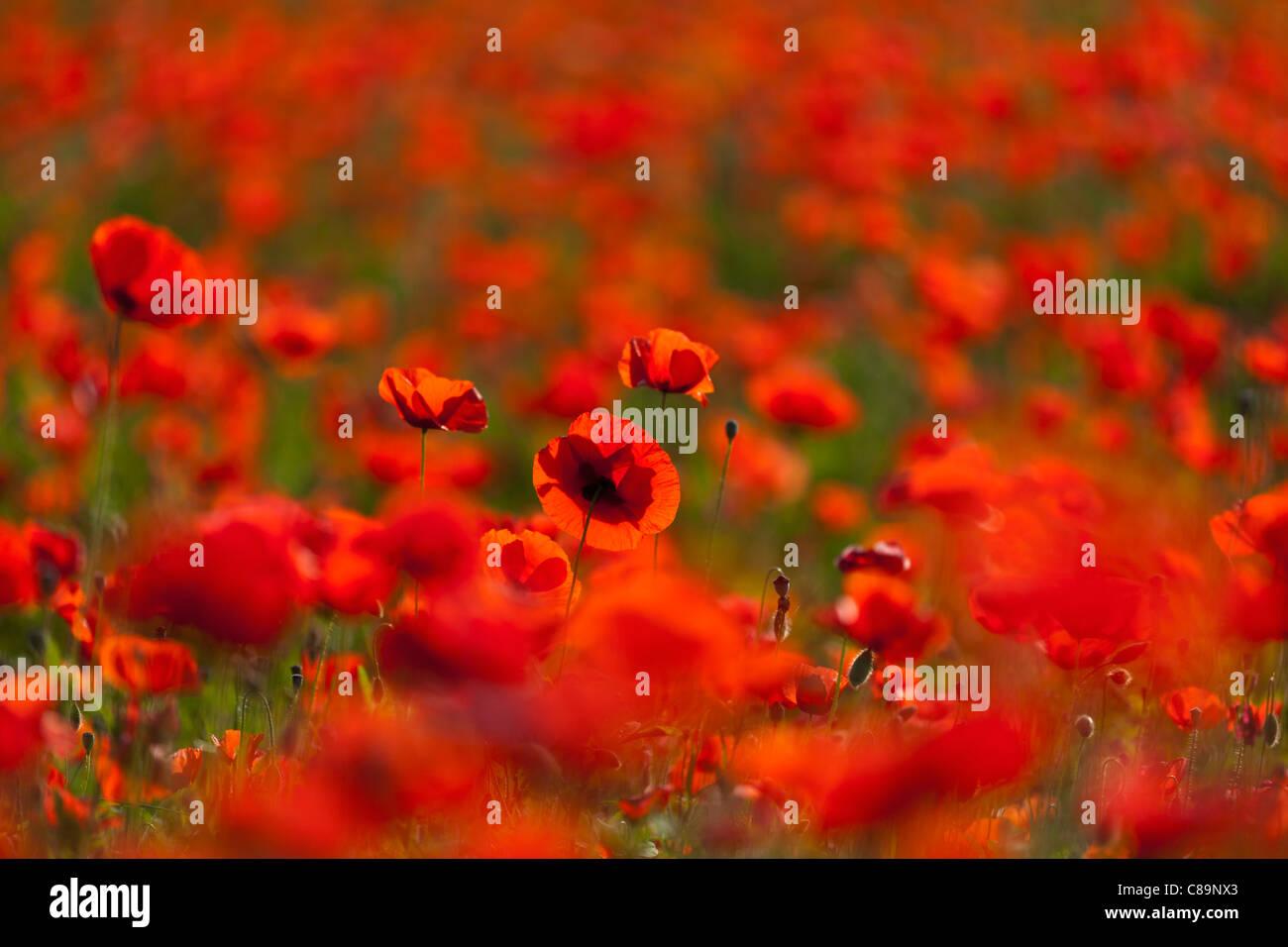 Italien, Toskana, Kreta, Blick auf roten Mohnfeld Stockbild