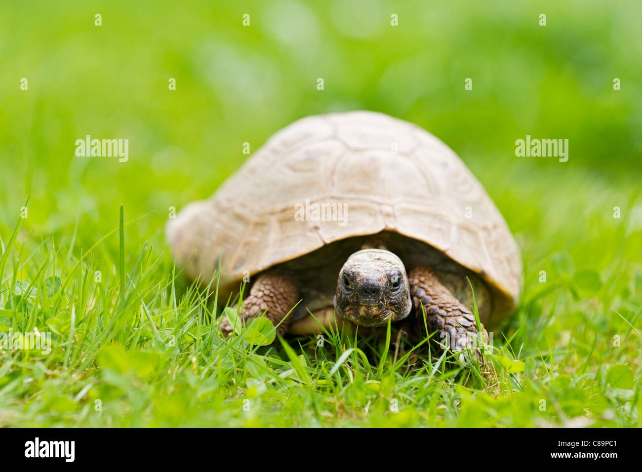 Deutschland Bayern Hermanns Schildkröte Im Rasen Stockfoto Bild