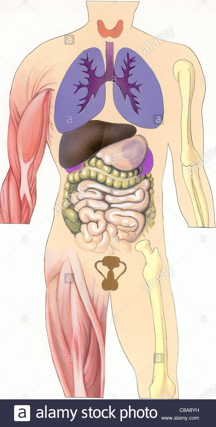 Ungewöhnlich Das Wesentliche Der Menschlichen Anatomie Und ...