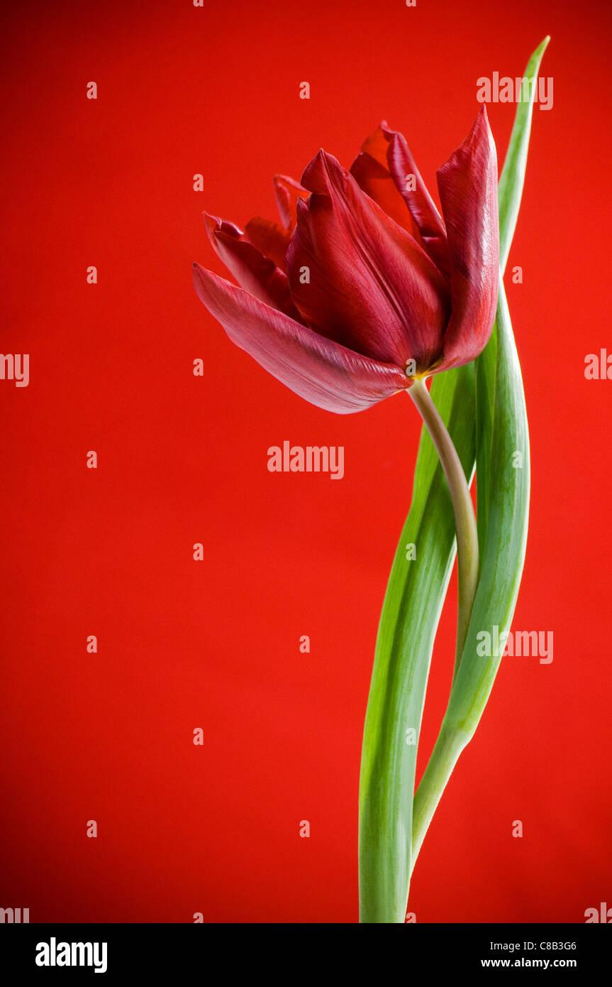 Grazile einzelne rote Tulpe und Blätter auf rot Stockbild