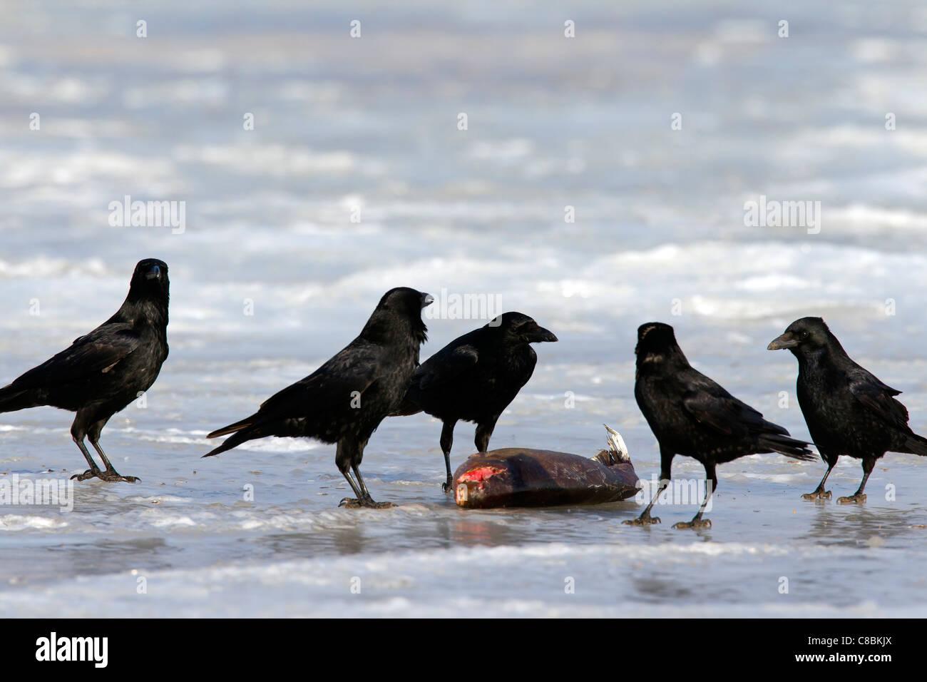 Herde von Rabenkrähen (Corvus Corone) ernähren sich von Fisch auf zugefrorenen See im Winter, Deutschland Stockbild
