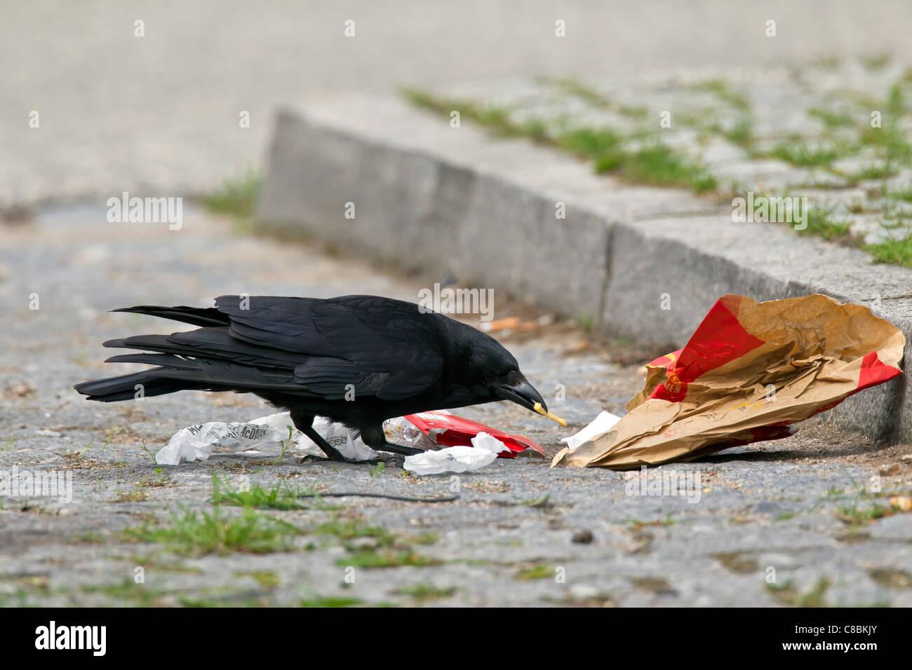 AAS-Krähe (Corvus Corone) Aufräumvorgang für Lebensmittel im Müll auf der Straße, Deutschland Stockbild