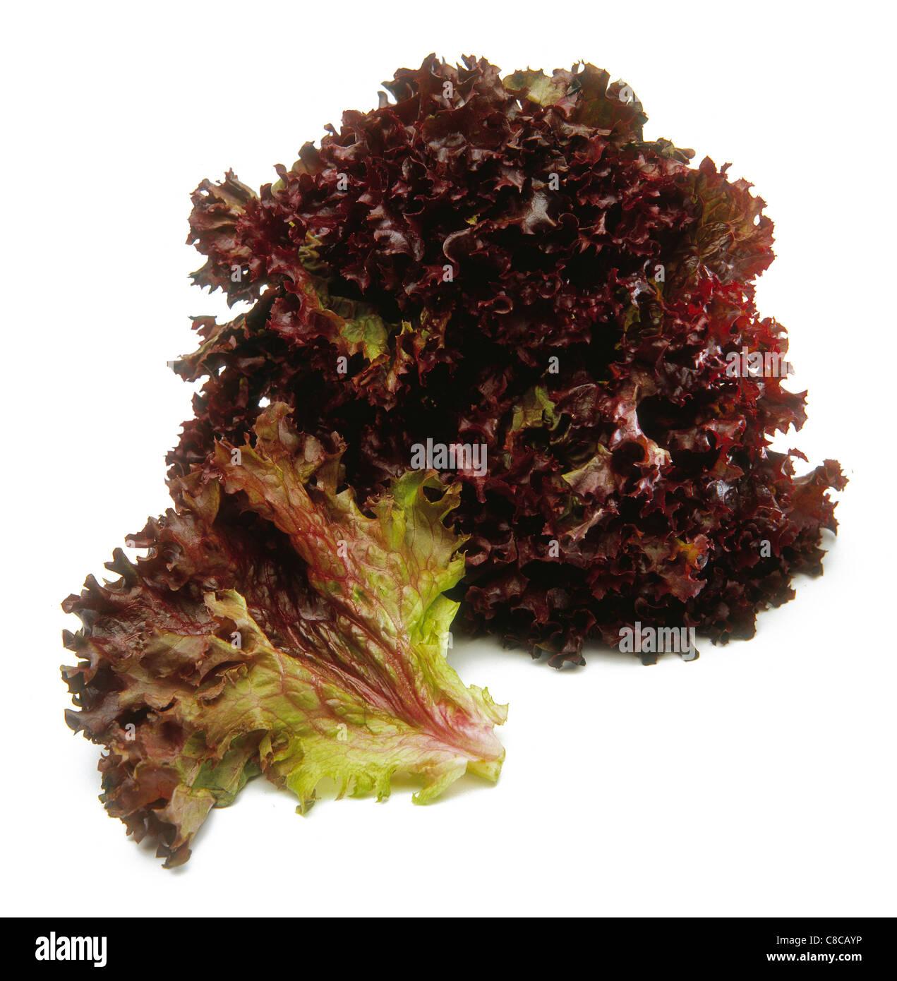 lollo rosso lettuce stockfotos lollo rosso lettuce. Black Bedroom Furniture Sets. Home Design Ideas